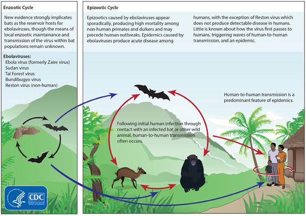 Ebola Cycle - CDC image