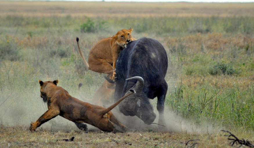Lion attack image